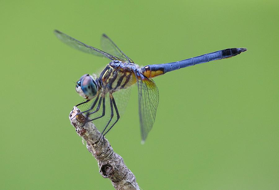 Macro Photograph - Blue Dasher Dragonfly by Ester  Rogers