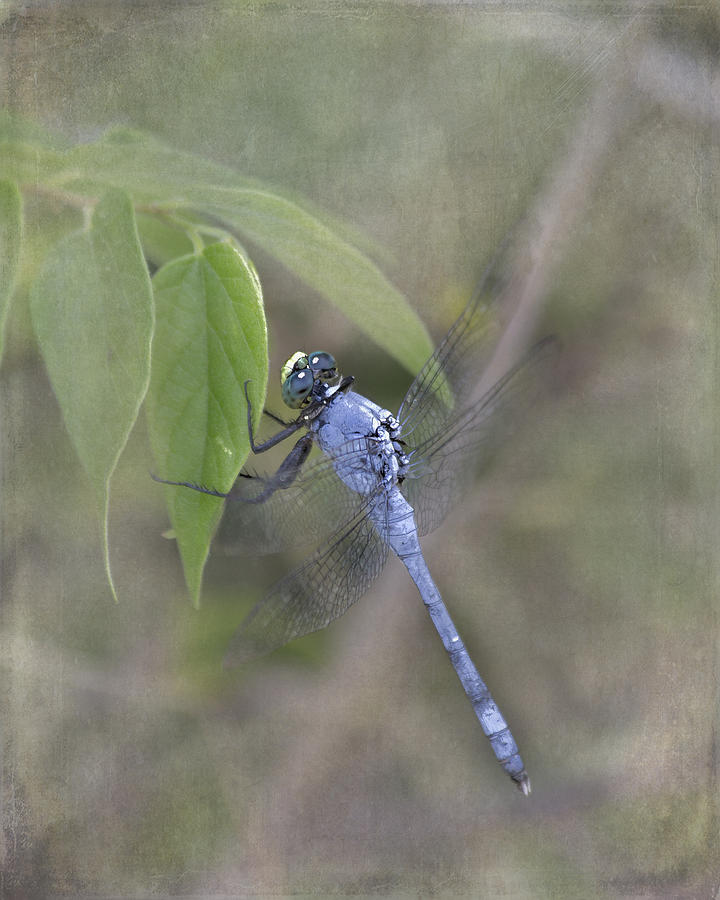 Blue Dasher Photograph - Blue Dasher Dragonfly by TN Fairey