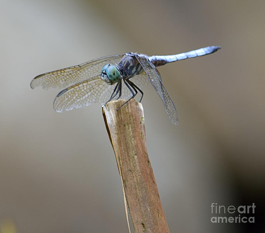 Pond Life Photograph - Blue Dasher by Randy Bodkins