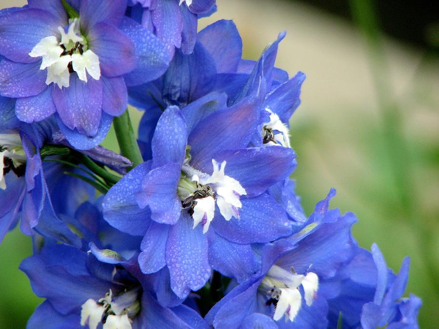 Flower Digital Art - Blue Delphinium Flower by Bonita Hensley