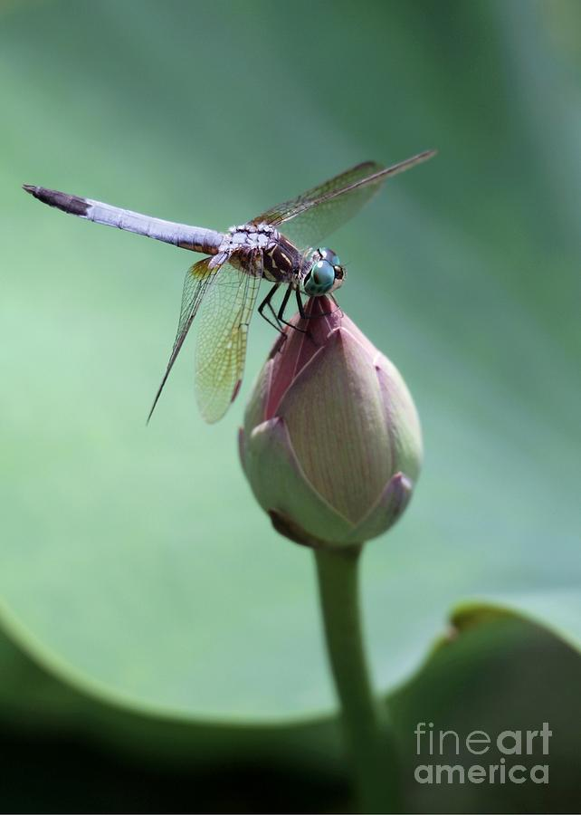 Dragonfly Photograph - Blue Dragonflies Love Lotus Buds by Sabrina L Ryan