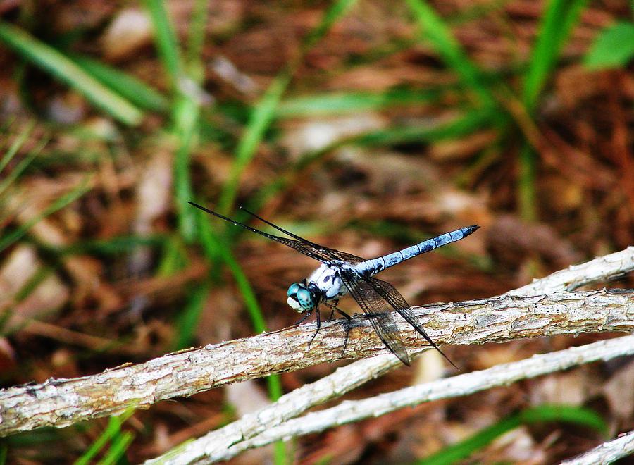 Larvae Photograph - Blue Dragonfly Beauty by Ella Char