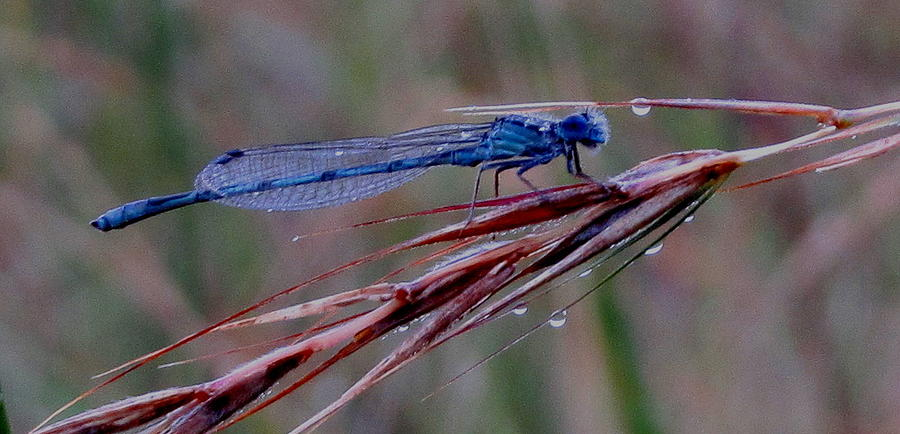 Nature Photograph - Blue Dragonfly by Denise   Hoff