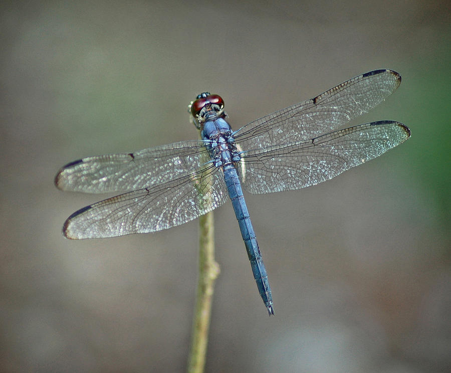 Insects Photograph - Blue Dragonfly II by Linda Brown