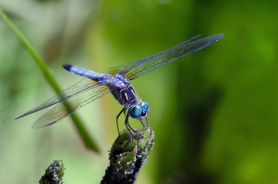 Blue Dragonfly by Jim Shackett