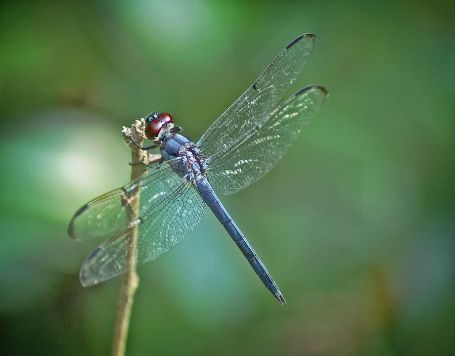 Dragonfly Photograph - Blue Dragonfly by Linda Brown