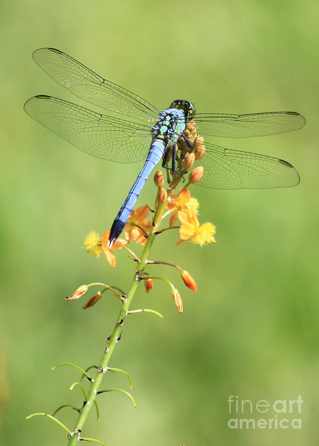 Blue Dragonfly On Yellow Flower Photograph By Carol Groenen