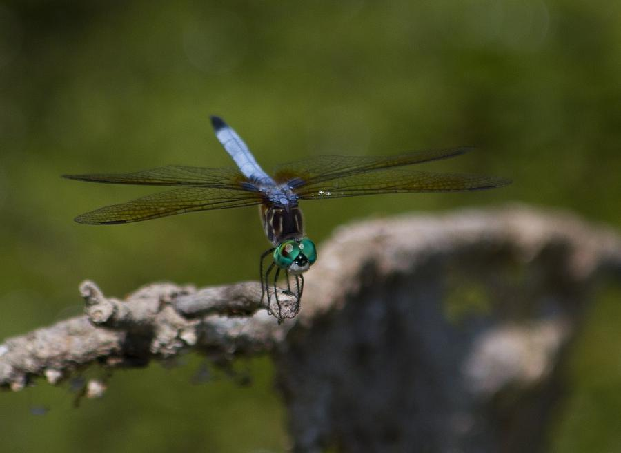 Blue Dragonfly With Green Head Photograph