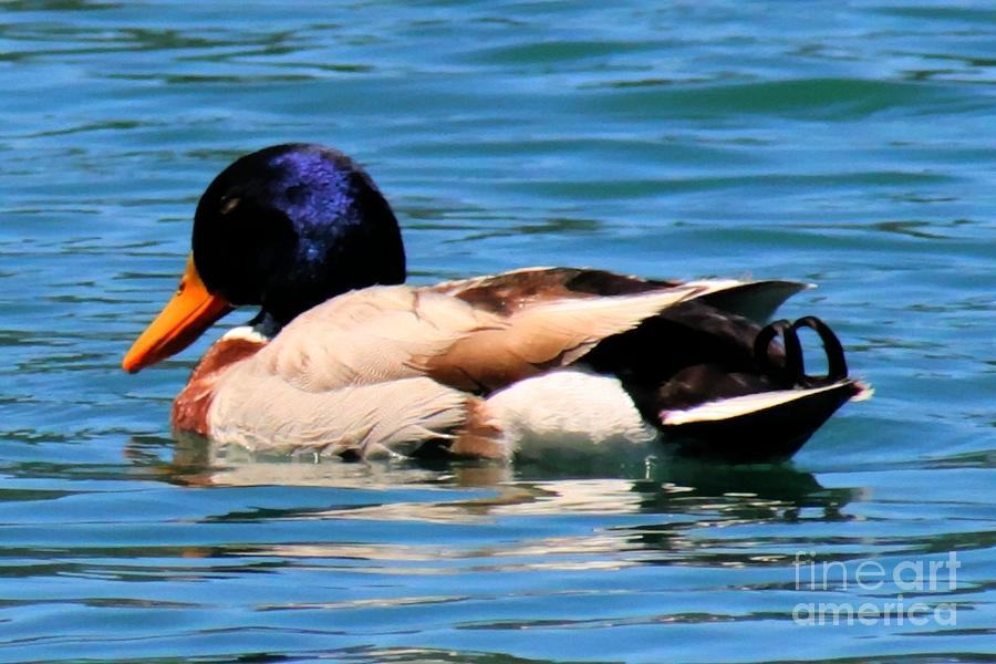 Mallards Photograph - Blue Duck by Tap On Photo