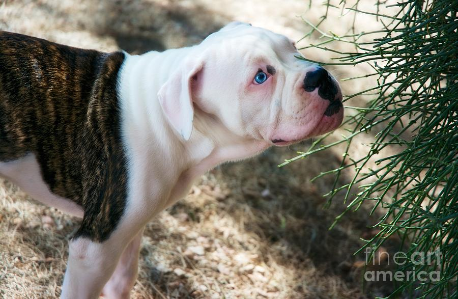 Blue Eyes Photograph - Blue Eye Pup by Berta Keeney