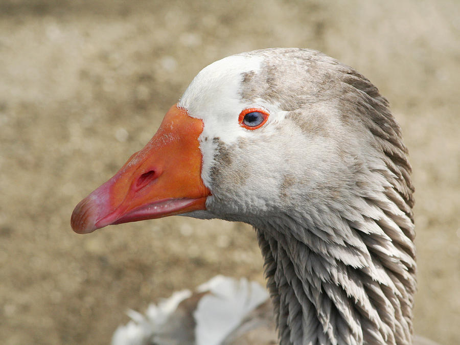 Goose Photograph - Blue-eyed Goose by Bob and Jan Shriner