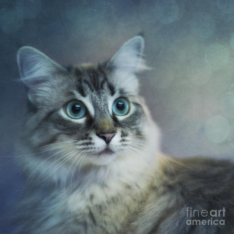 Mixed Breed Photograph - Blue Eyed Queen by Priska Wettstein