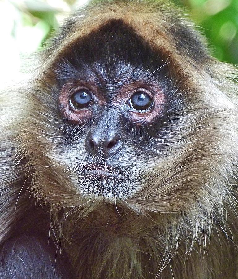 Spider Monkey Photograph - Blue Eyed Spider Monkey by Margaret Saheed