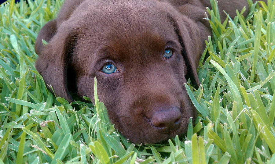 Cute Chocolate Lab Puppies With Blue Eyes