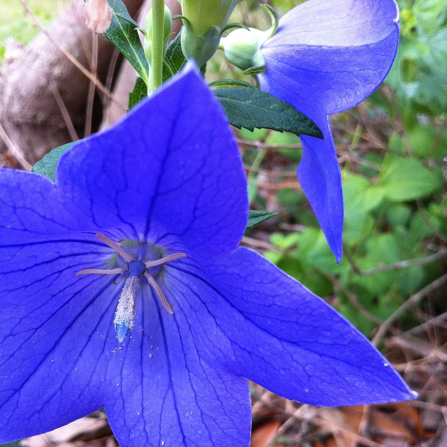 Blue Clematis Flowers by Cindy Clements
