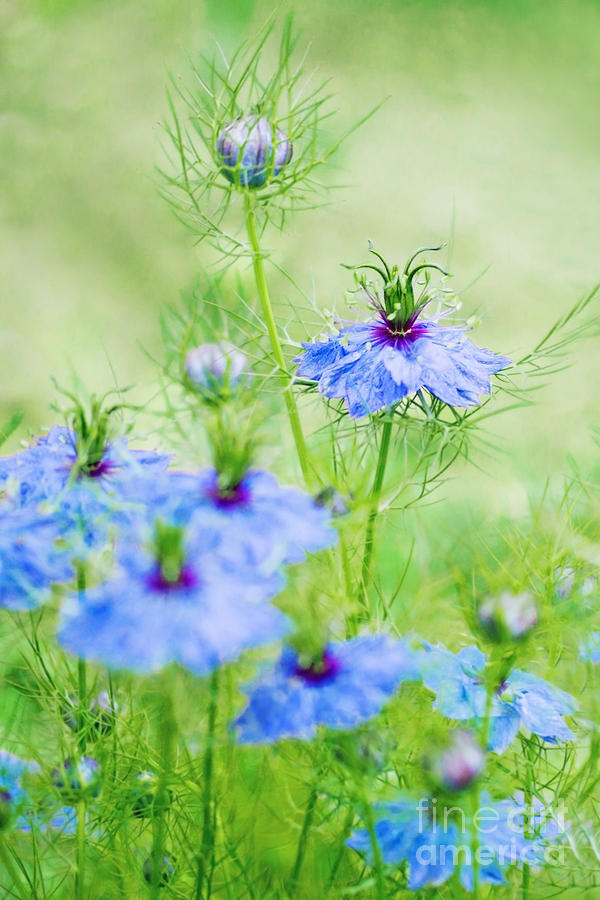 Flowers Photograph - Blue Flowers by Diana Kraleva
