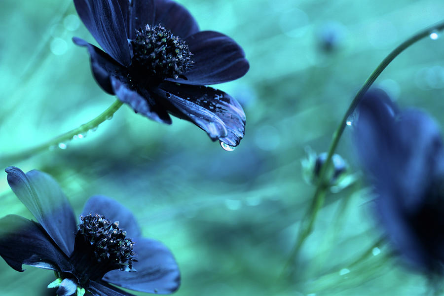 Blue Flowers Photograph by Kelly Bowden
