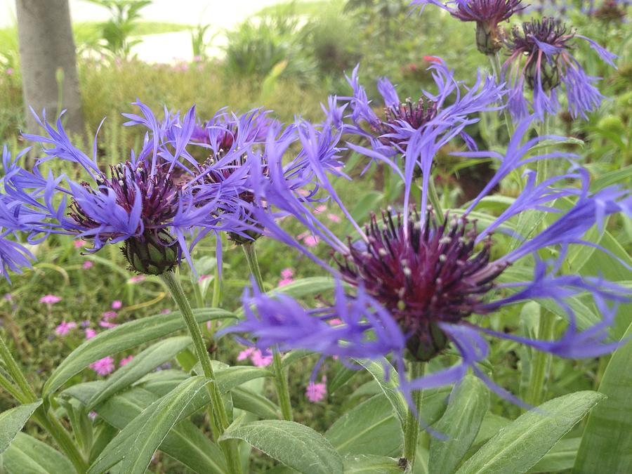Blue Photograph - Blue Flowers by Pema Hou