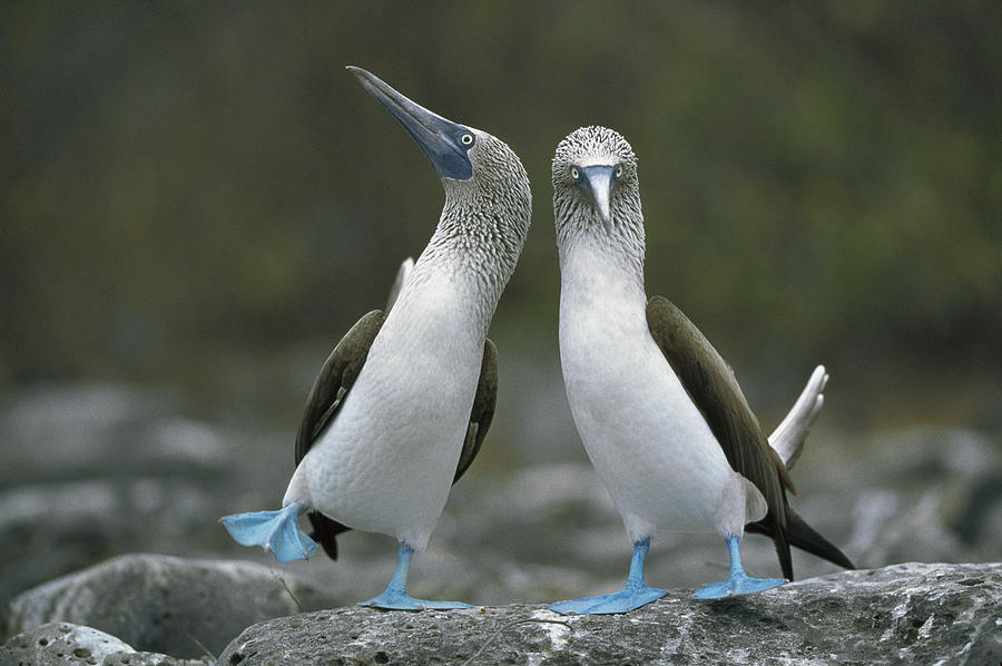 00141144 Photograph - Blue Footed Booby Dancing by Tui De Roy