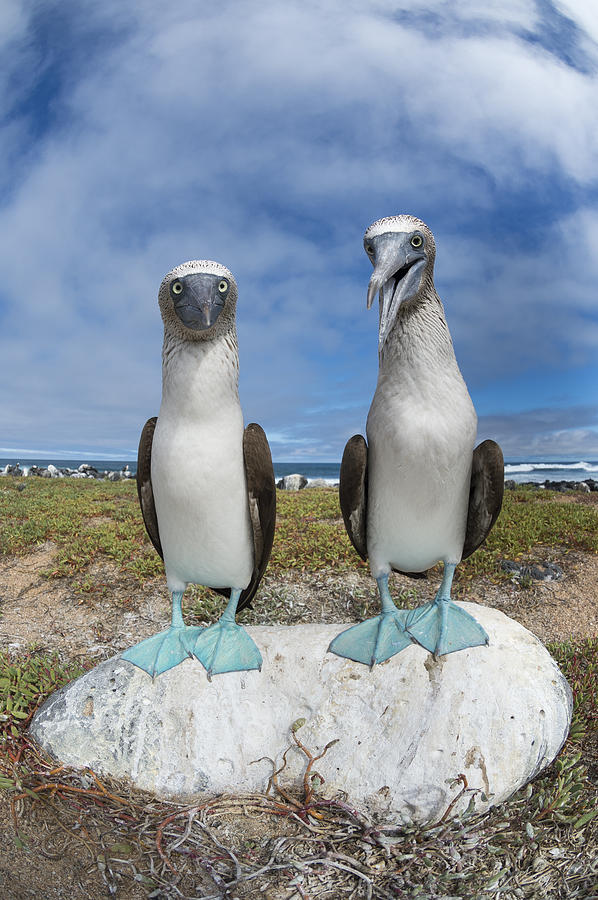 Blue-footed Booby Pair Galapagos Photograph by Tui De Roy