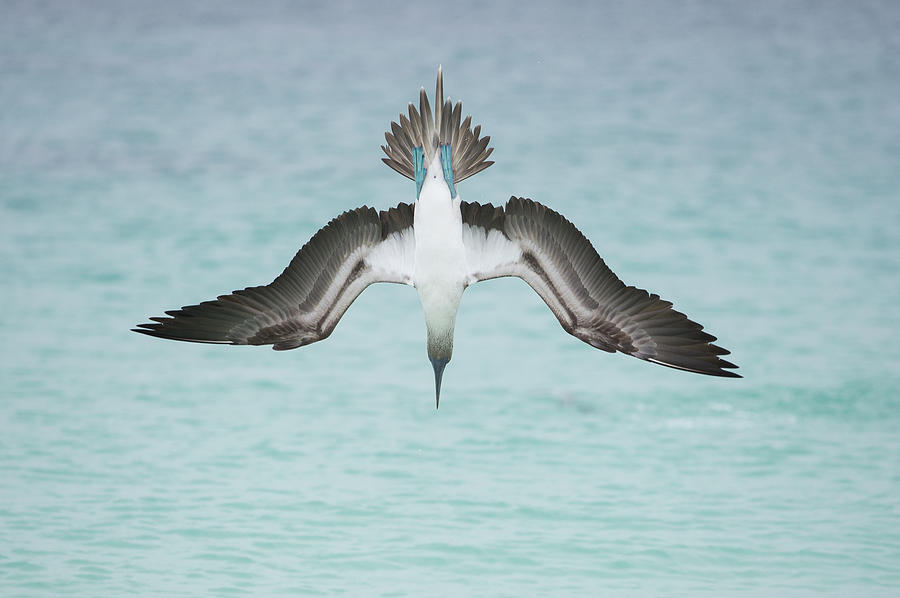 Blue-footed Booby Plunge Diving Photograph by Tui De Roy