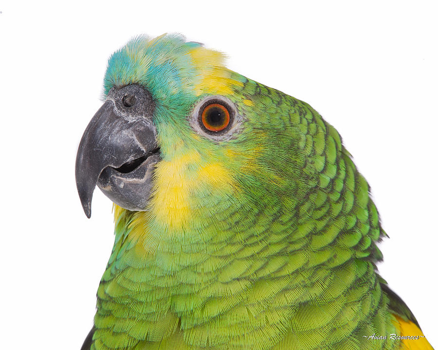 Blue-front Amazon Portrait on White 2 by Avian Resources