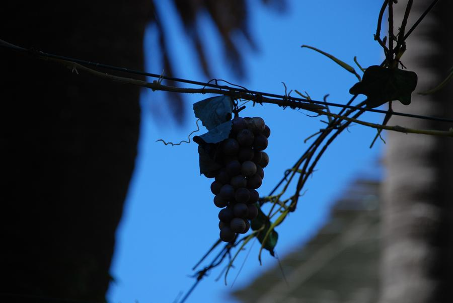 Grappes Photograph - Blue Grapes by Dany Lison
