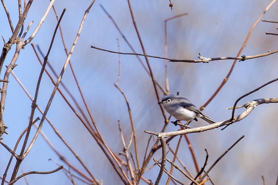 Animal Photograph - Blue-gray Gnatcatcher by Jack R Perry