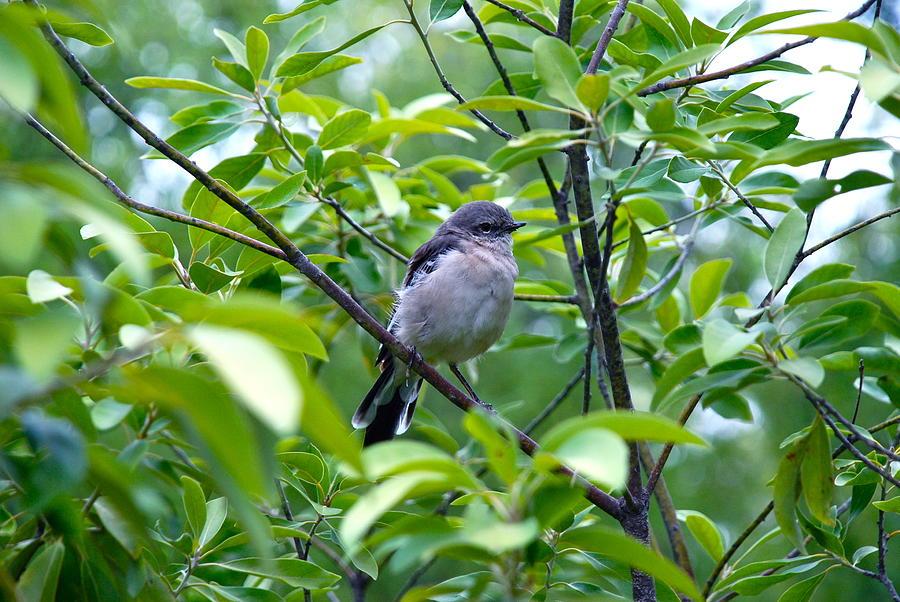 Blue-gray Gnatcatcher Photograph