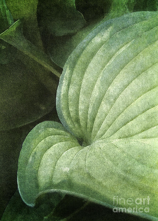Blue Green Hosta Photograph By Kathi Mirto