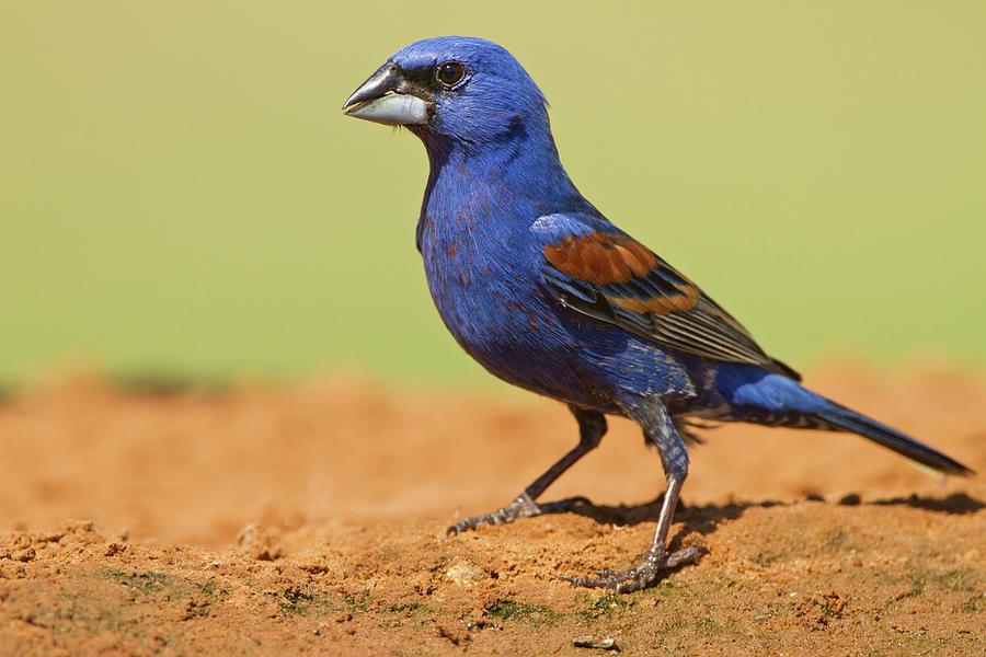 Adult Photograph - Blue Grosbeak (guirana Caerulea by Larry Ditto
