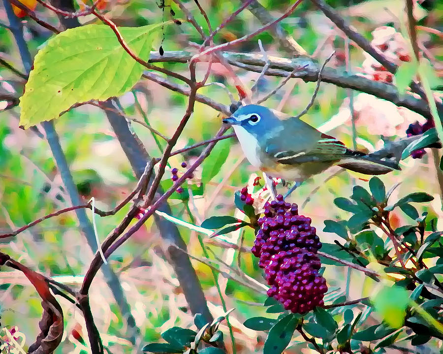 Blue-headed Vireo by Peg Urban