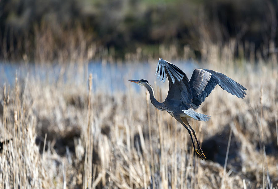 Beautiful Photograph - Blue Heron 1 by Roger Snyder