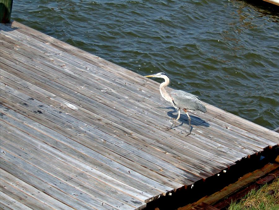 Photograph Photograph - Blue Heron On Dock by Marian Bell