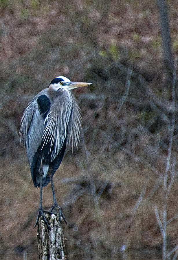 Wildlife Photograph - Blue Heron On Stump by Bill Perry