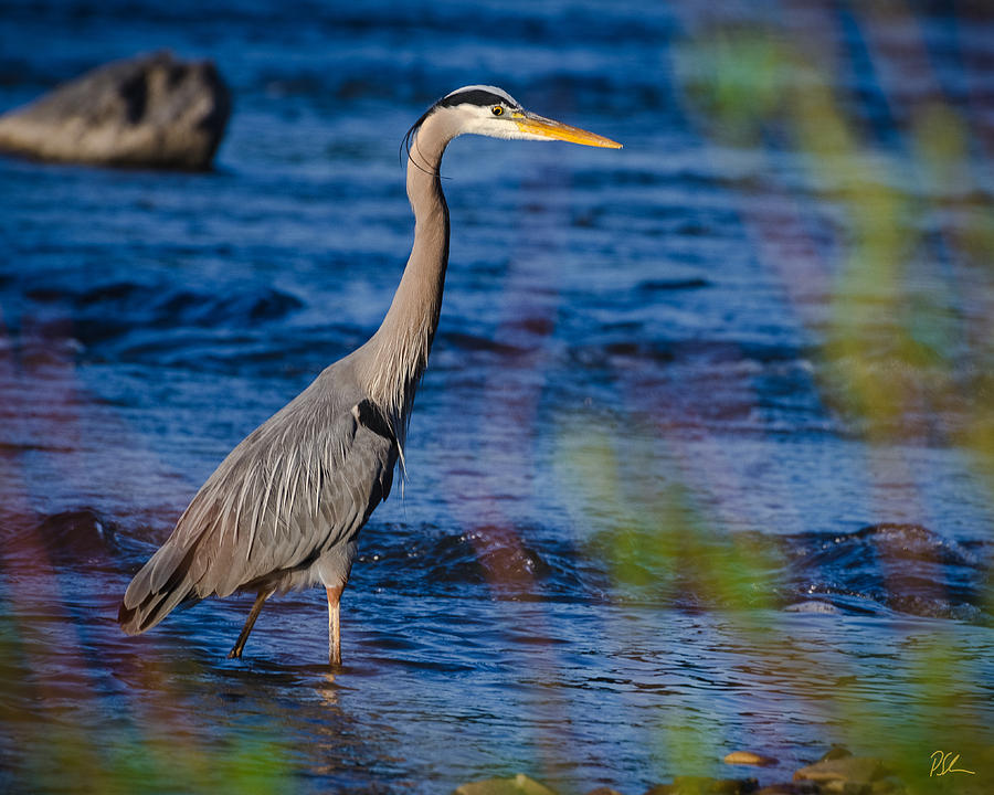 Bird Photograph - Blue Heron by Pat Scanlon