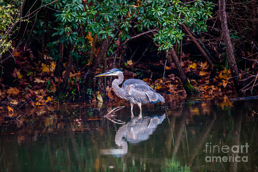 Blue Heron Reflection Photograph