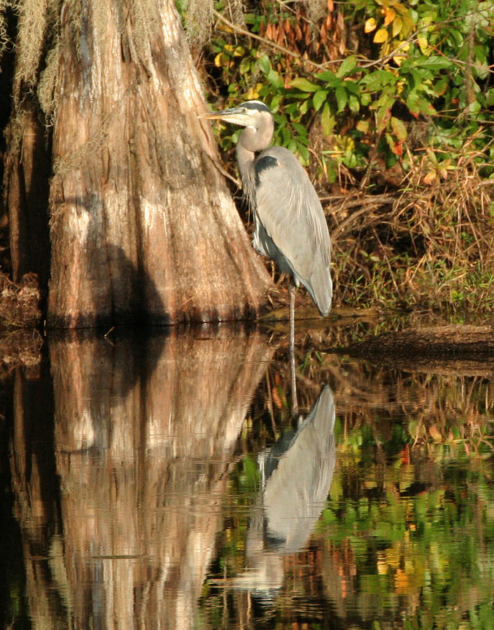 Heron Photograph - Blue Heron Reflection by Jeff Wright