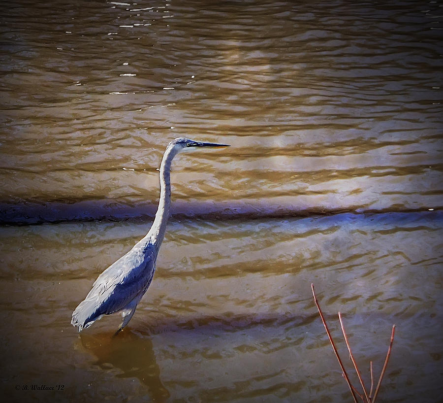2d Photograph - Blue Heron - Shallow Water by Brian Wallace