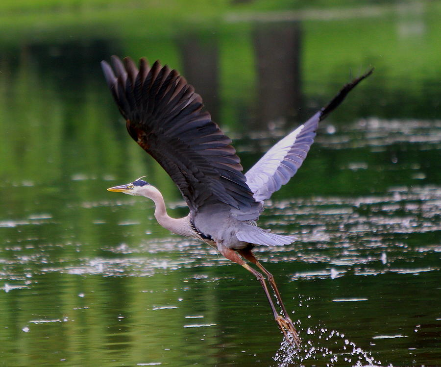 Blue Heron Takeing Off Photograph by Edward Kocienski