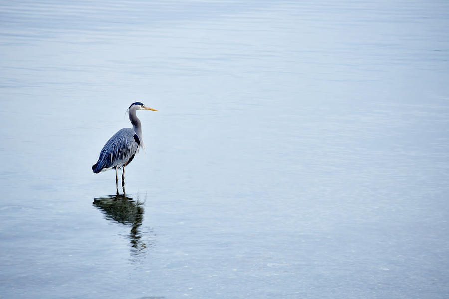 Blue Heron Photograph by Temmuzcan