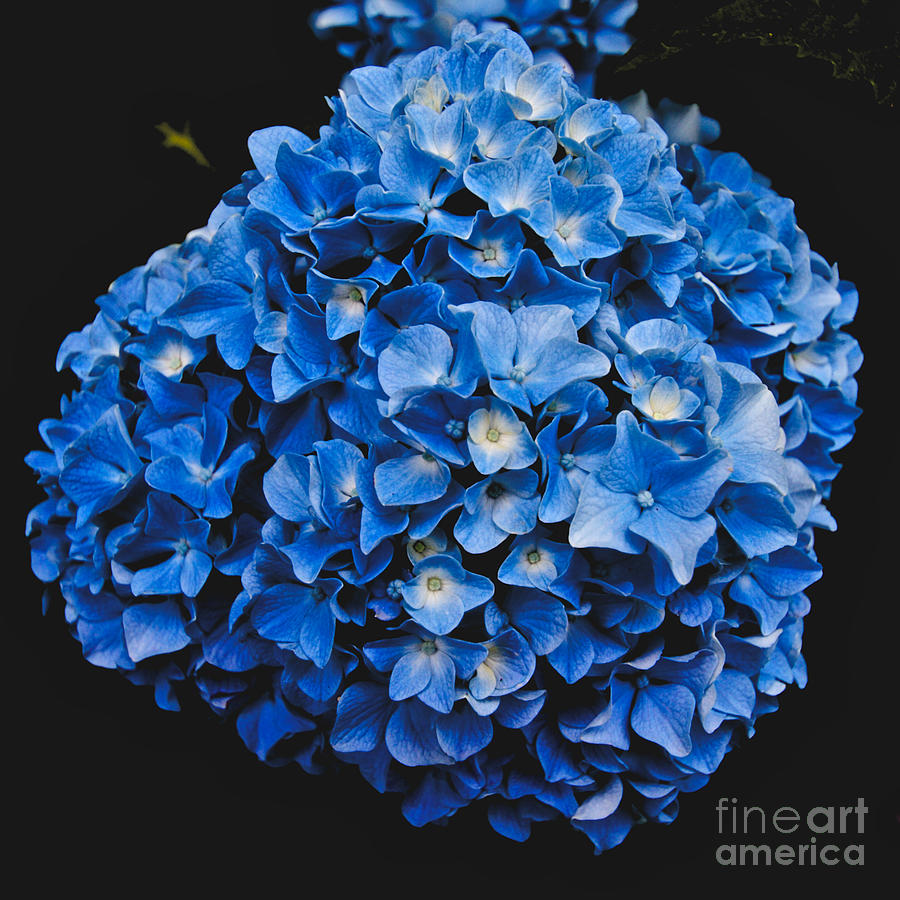 Blue Hydrangea Photograph - Blue Hydrangea 1 by William Norton