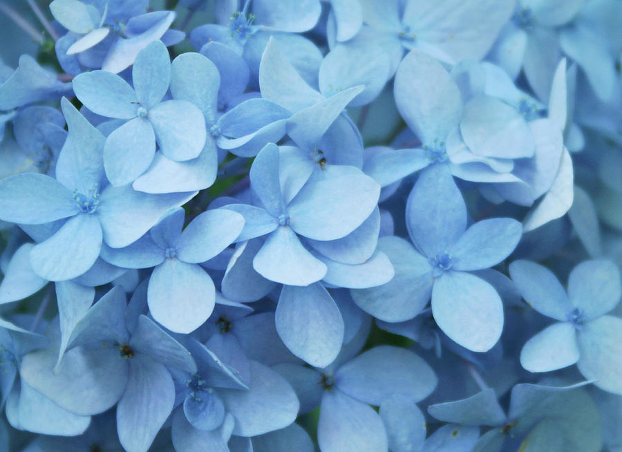 Blue Hydrangea Close-up Photograph by Daniela Duncan