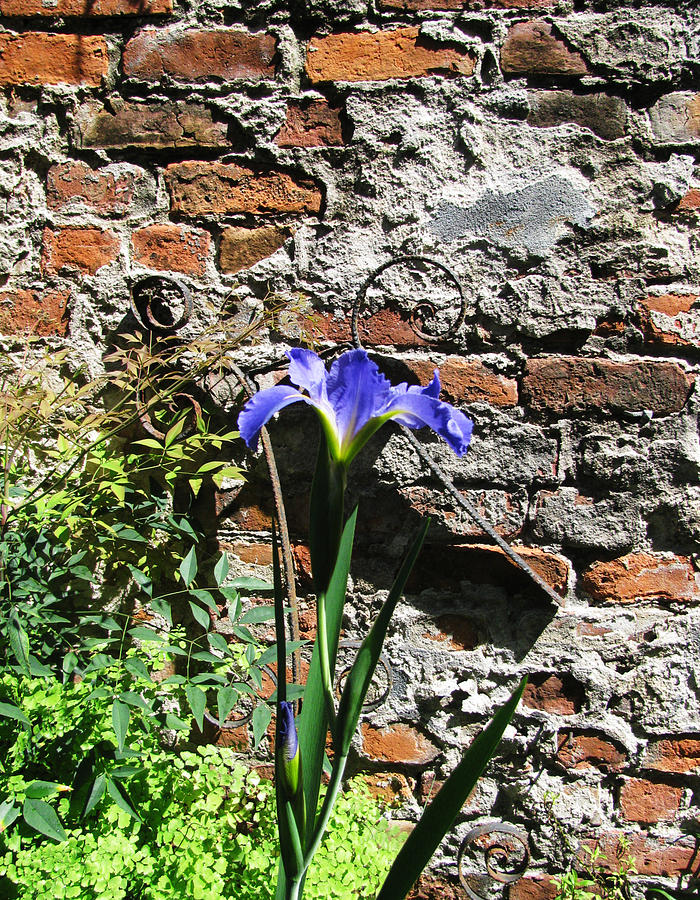 Blue Iris Brick Wall by Tom Hefko