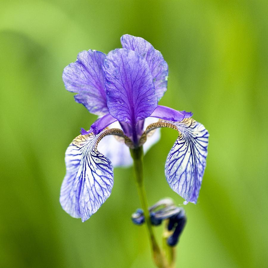 Blue Photograph - Blue Iris by Frank Tschakert