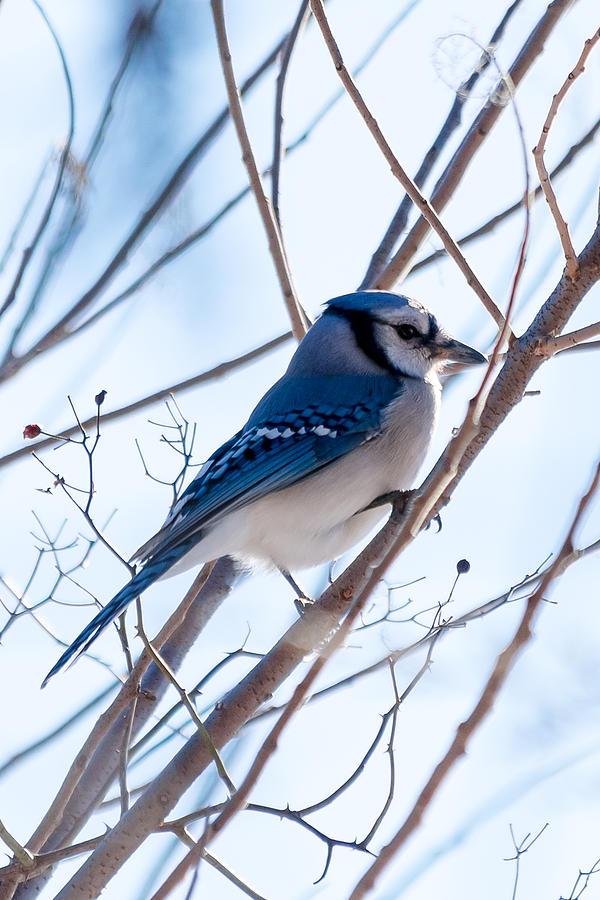 Beak Photograph - Blue Jay by Gaurav Singh