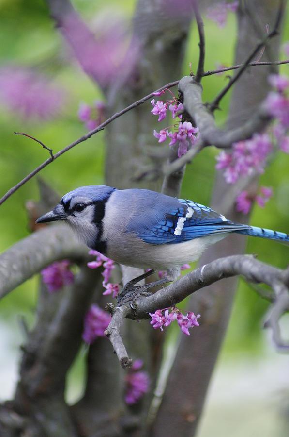 Bird Photograph - Blue Jay  by Heidi Poulin