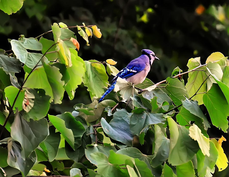 Bird Photograph - Blue Jay In A Tree by Chris Flees