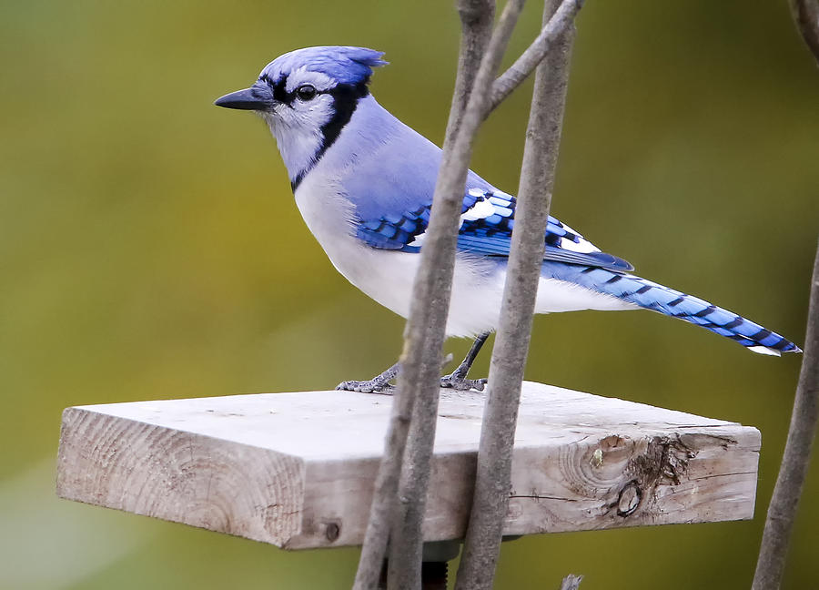 Canon Photograph - Blue Jay In Profile by Ricky L Jones