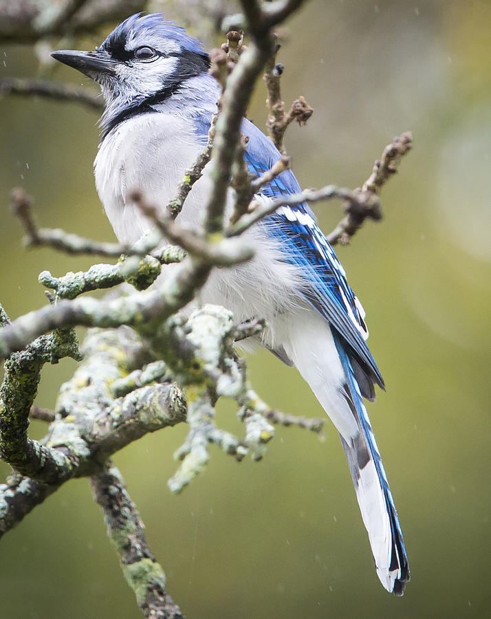 Canon Photograph - Blue Jay in the Rain by Ricky L Jones
